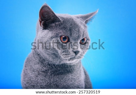 Beautiful stylish purebred british cat. Animal portrait. Purebred cat is lying. Blue background. Colorful decorations