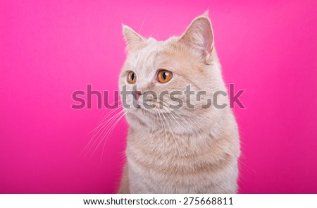 Beautiful stylish purebred british cat. Animal portrait. Purebred cat is lying. Pink background. Colorful decorations. Collection of funny animals - stock photo