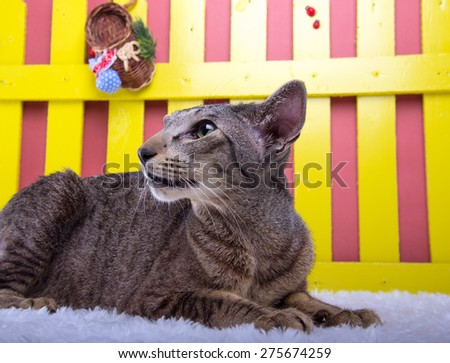 Beautiful stylish purebred cat. Animal portrait. Purebred cat is lying. Blue background. Colorful decorations - stock photo