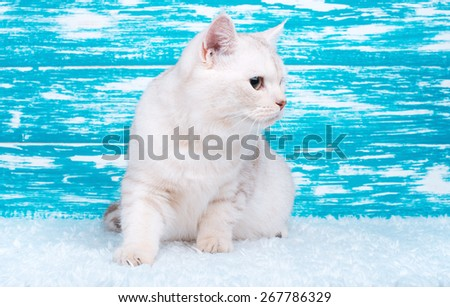 Beautiful stylish purebred cat. Animal portrait. Purebred cat is sitting. Blue background. Colorful decorations. Collection of funny animals - stock photo