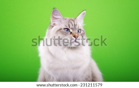 Beautiful stylish purebred cat. Animal portrait. Purebred cat is sitting. Green background. Colorful decorations. Collection of funny animals - stock photo