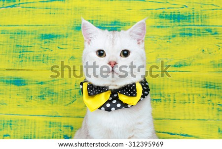 Beautiful stylish purebred cat. Animal portrait. Purebred cat is sitting. Yellow background. Colorful decorations. Collection of funny animals - stock photo