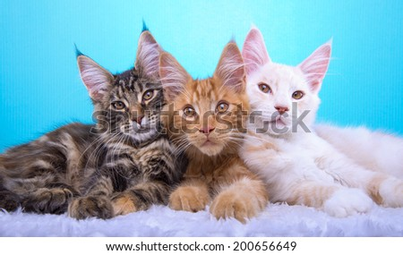 Beautiful stylish purebred maine coon cat. Animal portrait. Purebred cat is lying. Blue background. Colorful decorations