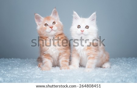 Beautiful stylish purebred maine coon cat. Animal portrait. Purebred cat is lying. Blue background. Colorful decorations - stock photo