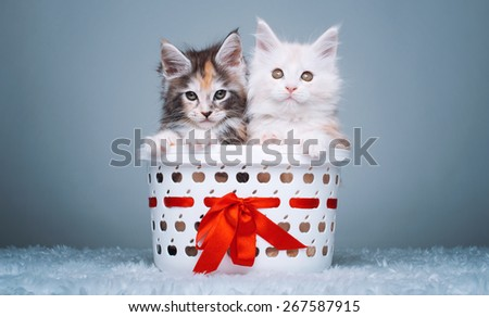 Beautiful stylish purebred maine coon cat. Animal portrait. Purebred cat is lying. Colorful decorations - stock photo