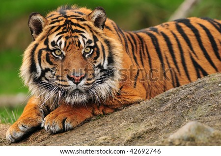 Beautiful sumatran tiger crouching on a rock - stock photo