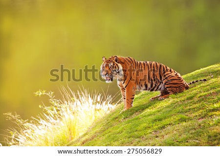 Beautiful Sumatran Tiger sitting on the green grass of a hill with a blurred out forest background - stock photo