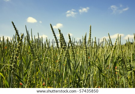 Beautiful summer background in vibrant colors. Young green wheat standing over the clear blue sky