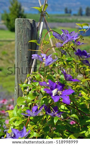 Beautiful summer clematis flowers with lake in background