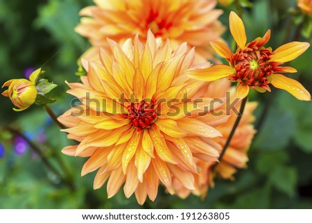 Beautiful summer dahlias in the home garden. - stock photo