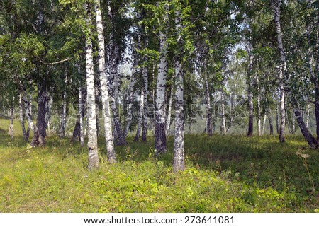 beautiful summer landscape birch grove in the Urals on a clear sunny day