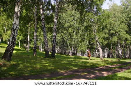beautiful summer landscape birch grove paths and sunlight filtering through the foliage