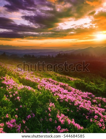 beautiful summer landscape with rhododendron flowers, sunrise morning in europe mountains, beauty world.