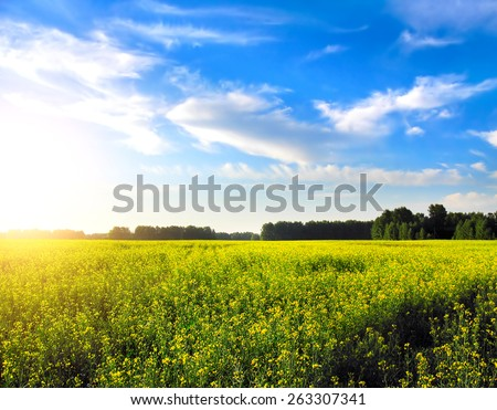 beautiful summer landscape with yellow field and forest - stock photo