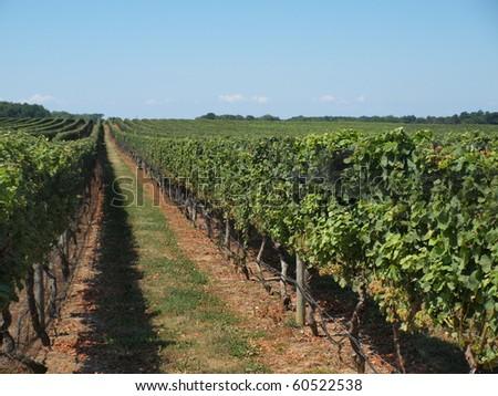 Beautiful summer time view of a Long Island Vineyard - stock photo