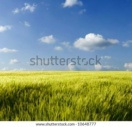 Beautiful summer wheat field - stock photo