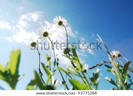 beautiful summer wild ox-eye daisies, view from the ground