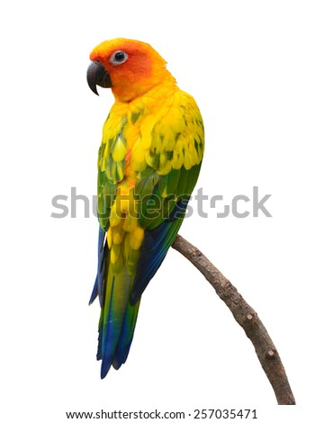 Beautiful Sun Conure bird perching on a branch isolated on white background. - stock photo