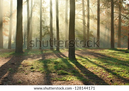 Beautiful sun rays in the morning forest - stock photo
