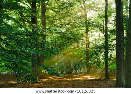 Beautiful sunbeams in the forest. - stock photo