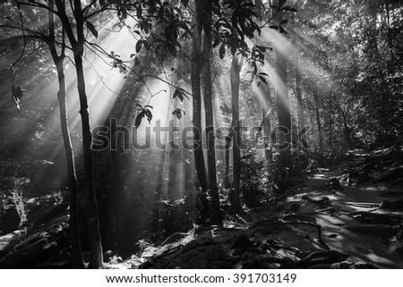 Beautiful sunbeams in the forest at morning. Nature composition, soft focus, grainy effect and vibrant colours. (Fine art-black and white)  - stock photo