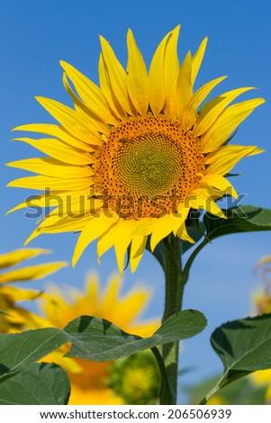 Beautiful sunflower against blue sky - stock photo