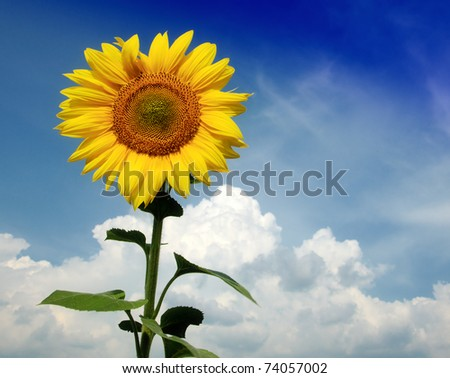 Beautiful sunflower against blue sky - stock photo
