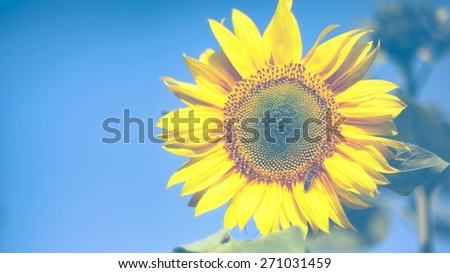 Beautiful sunflower against blue sky with copy space - stock photo