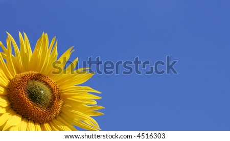 Beautiful sunflower against blue sky with copyspace - stock photo