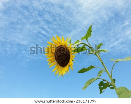 Beautiful sunflower and blue sky