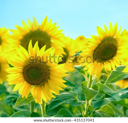 Beautiful sunflower and blue sky - stock photo