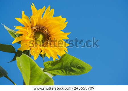 beautiful sunflower and blue sky ,Thailand - stock photo