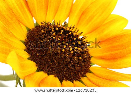 beautiful sunflower close-up - stock photo