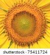 Beautiful sunflower closeup - stock