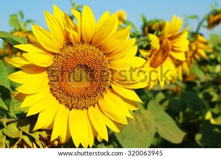 Beautiful sunflower, closeup - stock photo