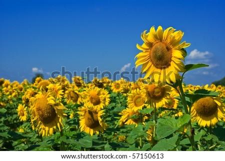 beautiful sunflower field - stock photo