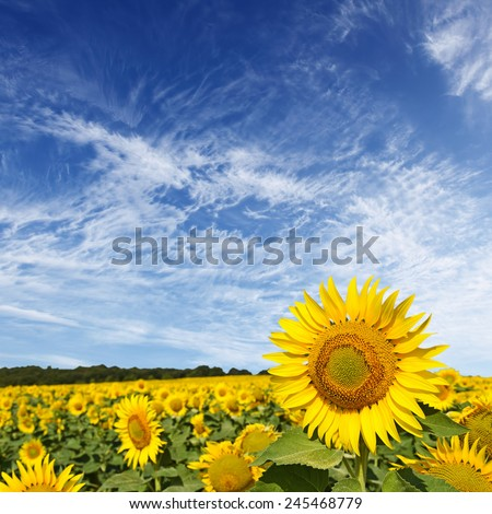 Beautiful sunflower field and blue sky - stock photo