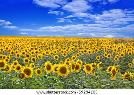 Beautiful sunflower field on a clear sunny day. - stock photo