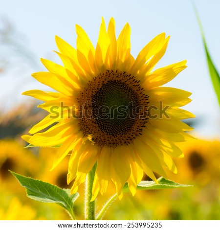 Beautiful sunflower in a field in summer - stock photo