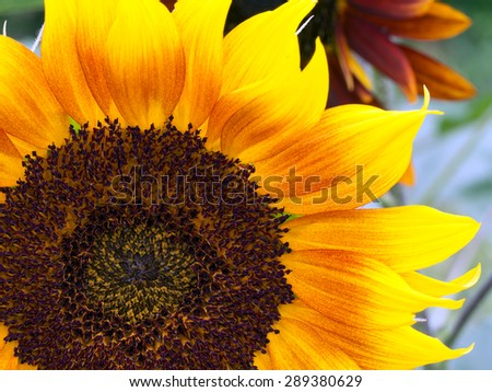 Beautiful sunflower in garden. - stock photo