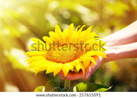 Beautiful sunflower in hands on sunny nature background - stock photo