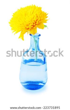 Beautiful sunflower in vase isolated on blue background - stock photo