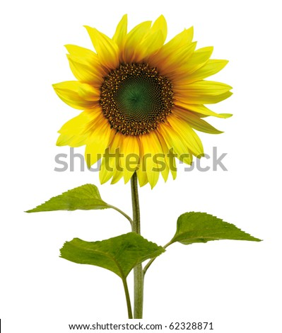 Beautiful sunflower (isolated) - stock photo
