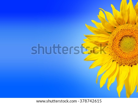 Beautiful sunflower isolated on blue background with gradient light