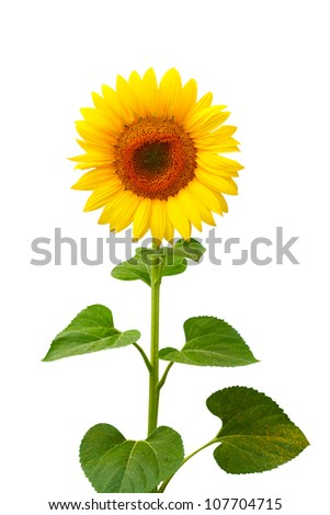 Beautiful sunflower isolated on white