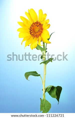 beautiful sunflower, on blue background