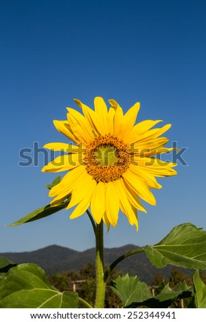 Beautiful sunflower on clear blue sky background. - stock photo