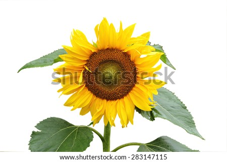 Beautiful sunflower on stem with leaves isolated on a white background. - stock photo