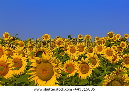 Beautiful Sunflower on the field against a blue sky in a summer sunny day - stock photo