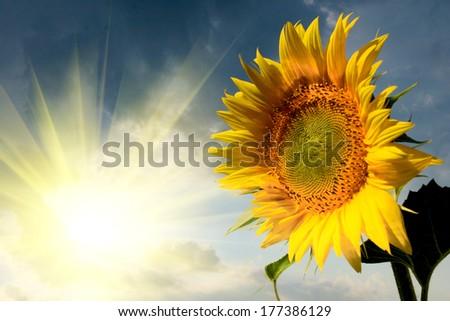 Beautiful sunflower on the sun rise - stock photo